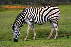 ZEBRA. In a zoo in the Château of Thoiry castle Stock Photo