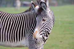 Zebra in zoo close up. Looking back Stock Photos