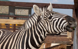 Zebra in a zoo Stock Photography