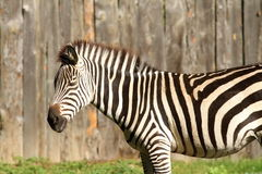 Zebra at the zoo Stock Photography