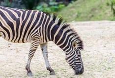 Zebra in zoo Stock Image