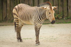 Zebra in the zoo in Dvur Kralove. Royalty Free Stock Photos