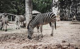 Zebra in the zoo. And eating grass Stock Image