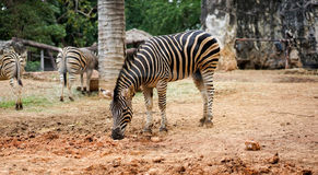 Zebra in the zoo. And eating grass Royalty Free Stock Photos