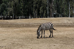 Zebra at the Zoo Stock Photos