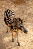 Zebra in Zoo Stock Photos