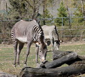 Zebra at zoo Royalty Free Stock Images