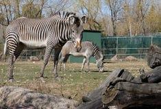 Zebra at zoo. Zebra in field at zoo Royalty Free Stock Photo