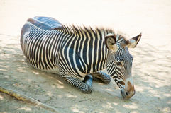 Zebra at Zoo of Los Angeles Stock Photography