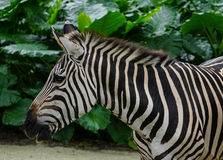Zebra in the zoo. With many plants background royalty free stock image