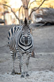 Zebra at the zoo Royalty Free Stock Photography