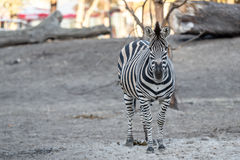 Zebra at the zoo Stock Image