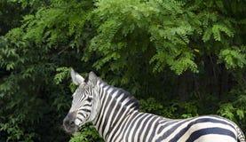 Zebra in the zoo. Royalty Free Stock Photo