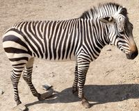 Zebra in the zoo. In the park in nature Stock Photography