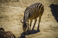 Zebra in a zoo park, skin patterned stripes Royalty Free Stock Photography