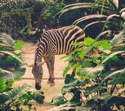 Zebra in the zoo. Royalty Free Stock Photography