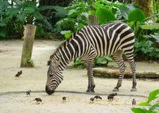Zebra in the zoo Stock Photos