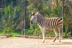 Zebra in zoo Stock Photo