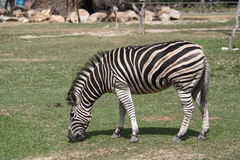 Zebra in zoo Royalty Free Stock Photography