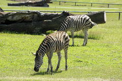 Zebra in the zoo Royalty Free Stock Image