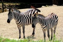 The zebra in the zoo Stock Photo