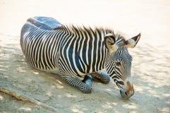 Zebra am Zoo von Los Angeles Stockfotografie