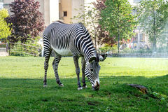 Zebra at the zoo. Zebra walking on the spacious paddock of the Zoo and eating fresh green grass growing in this paddock stock image