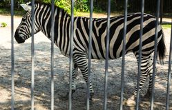 Zebra at the zoo. Behind the fences royalty free stock images