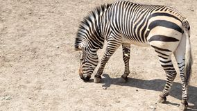 Zebra in the zoo. In the park in nature Stock Images