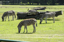 Zebra in the zoo Royalty Free Stock Photography