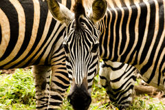 Zebra at the zoo. Zebras are several species of African equids (horse family) united by their distinctive black and white striped coats. Their stripes come in Stock Images