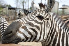 Zebra in the zoo. ,Its face has beautiful stripes royalty free stock images