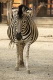 Zebra in zoological garden Stock Photos