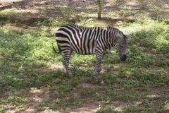 Zebra. In zoological park, India Stock Image