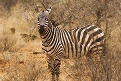 Zebra In Zsavo national park Kenya East Africa. Loan Zebra in Tsavo national park lovely black and white colours. staring eyes Royalty Free Stock Image