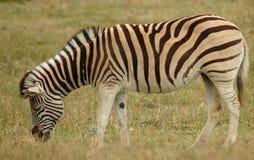 Zebra in Zuid-Afrika Royalty-vrije Stock Afbeeldingen