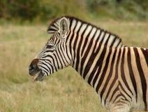 Zebra in Zuid-Afrika Royalty-vrije Stock Foto