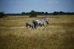 Zebra-Zusammengehörigkeits-lachendes Verkratzen Lizenzfreies Stockfoto