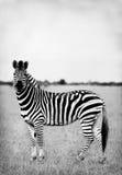 Zebra in zwart-wit Royalty-vrije Stock Afbeelding