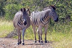 Zebra zwei auf Schotterweg in natürlicher Bushland-Landschaft stockfotos