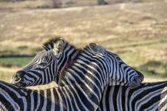 Zebra zwei, das auf einer südafrikanischen Ebene sich pflegt lizenzfreies stockbild
