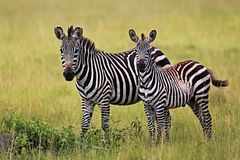 Zebraa во время большой миграции в masai mara Стоковое Изображение RF