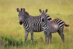 Zebraa pendant la grande migration dans le masai Mara Image libre de droits