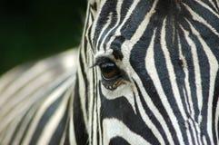 Zebraauge Stockbild