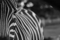 Zebraauszug Stockbilder
