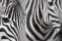 Zebraauszug Lizenzfreie Stockbilder