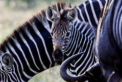 Zebrababy in South Africa Royalty Free Stock Image