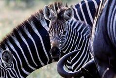 Zebrababy in Zuid-Afrika royalty-vrije stock afbeelding