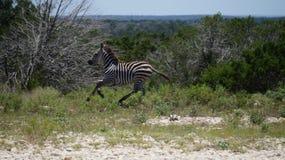 Zebrabetrieb Stockbild