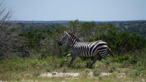 Zebrabetrieb lizenzfreie stockfotografie